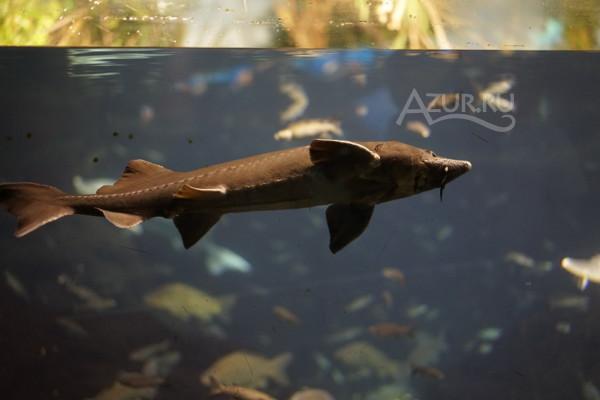 аквариумные осетры видео