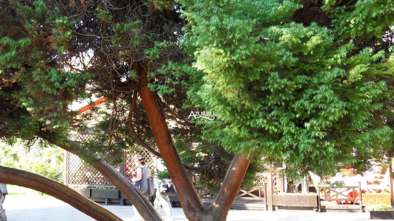 платановые деревья в сочи фото мебель ефимовская слобода